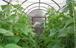 Технология выращивания огурцов в теплице зимой и уход за ними