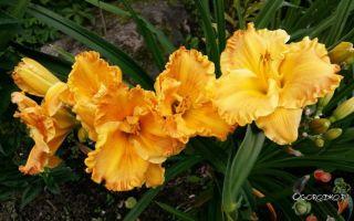 Лилейник : выращиваем в домашних условиях, полив, пересадка и особенности почвы