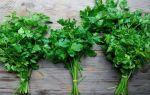 Петрушка — лечебные и полезные свойства, противопоказания