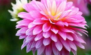 Правильный уход за хризантемой в горшке в домашних условиях