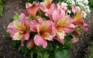 Альстромерия : выращиваем в домашних условиях, полив, пересадка и особенности почвы