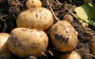 Выращивание картофеля, уход для получения хорошего урожая в открытом грунте и не только