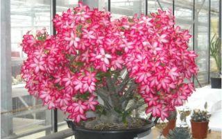 Адениумы (Роза Пустыни) правильный уход в домашних условиях