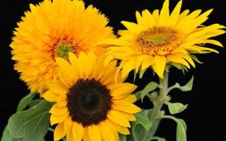 Подсолнух декоративный или гелиантус : выращиваем в домашних условиях, полив, пересадка и особенности почвы