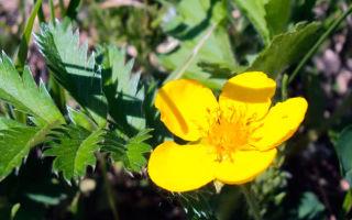 Лапчатка : выращиваем в домашних условиях, полив, пересадка и особенности почвы