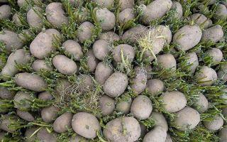 Проращивание (яровизация) картофеля перед посадкой: подготовка клубней или семян весной, сроки, в том числе когда доставать картошку и другие особенности