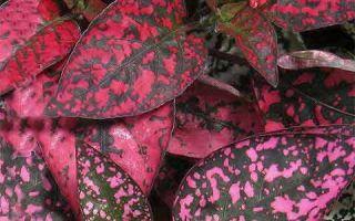 Уход за Гипоэстесом в домашних условиях — правила ухода и выращивания