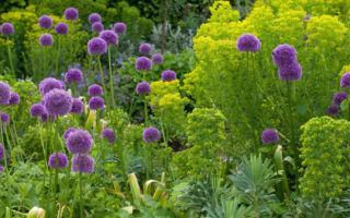 Декоративные луки : выращиваем в домашних условиях, полив, пересадка и особенности почвы