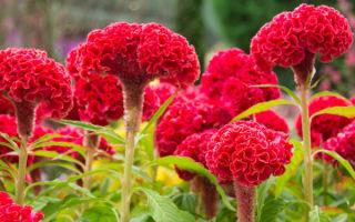 Целозия : выращиваем в домашних условиях, полив, пересадка и особенности почвы
