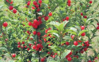 Вишня войлочная — особенности посадки и ухода, основные способы размножение