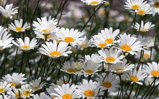 Нивяник или ромашка луговая : выращиваем в домашних условиях, полив, пересадка и особенности почвы