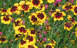 Кореопсис : выращиваем в домашних условиях, полив, пересадка и особенности почвы