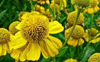 Гелениум : выращиваем в домашних условиях, полив, пересадка и особенности почвы