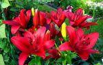 Разновидности расцветок лилий: белая, золотая, черная, особенности происхождения и жизненного цикла