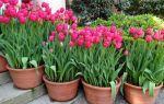 Посадка и выращивание тюльпанов в домашних условиях
