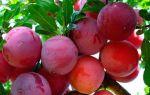 Слива персиковая: достоинства и недостатки сорта, фото и отзывы