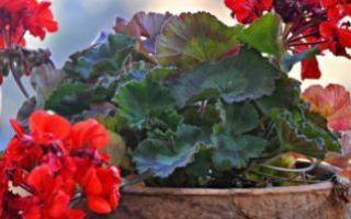 Как размножить герань в домашних условиях черенками, семенами, как рассадить и укоренить отростки