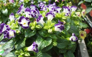 Торения : выращиваем в домашних условиях, полив, пересадка и особенности почвы