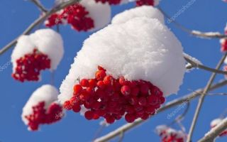 Рябина красная: полезные свойства и противопоказания