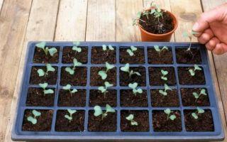 Цветная капуста – рассада, выращивание  и уход за всходами