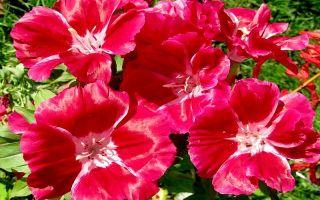 Кларкия : выращиваем в домашних условиях, полив, пересадка и особенности почвы