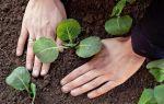 Характеристика сорта капусты валентина — правила выращивания и ухода