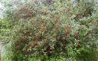 Кустовая вишня — подробная характеристика, лучшие сорта, посадка и уход за ними
