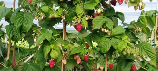 Правила посадки и ухода за малиновым деревом