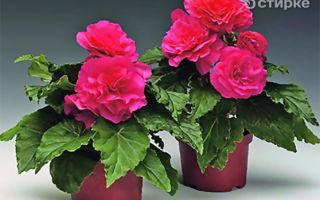 Бегония — уход в домашних условиях за растением