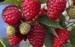 Особенности ухода за малиной весной — повышаем урожайность и иммунитет