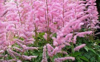Астильба : выращиваем в домашних условиях, полив, пересадка и особенности почвы