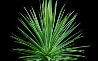Растение Агава — уход и пересадка в домашних условиях