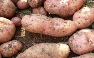 Картофель лапоть: описание сорта с фото и отзывами