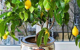 Подробное описание как вырастить лимон из косточки самостоятельно