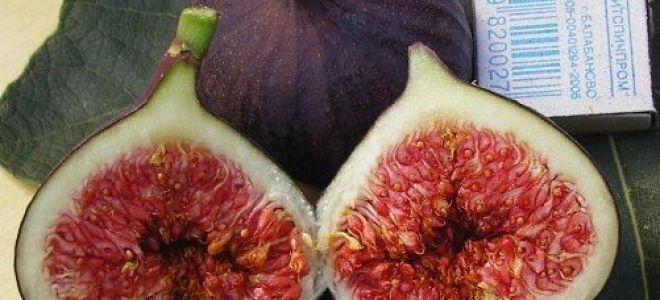 Самые урожайные сорта инжира для приусадебных участков и комнатного выращивания
