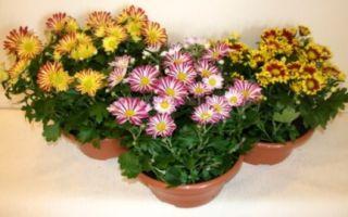 Хризантемы : выращиваем в домашних условиях, полив, пересадка и особенности почвы