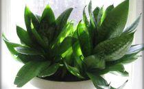 Сансевьера — описание растения с названиями и фотографиями