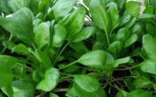 Как вырастить шпинат на подоконнике и получить урожай в любое время + видео