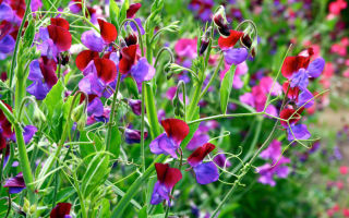 Душистый горошек : выращиваем в домашних условиях, полив, пересадка и особенности почвы
