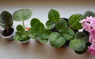 Как правильно выращивать фиалки, пробуем вырастить фиалку из листочка