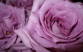 Разноцветные розы — белые, розовые, желтые, голубые, цветовая палитра популярных сортов