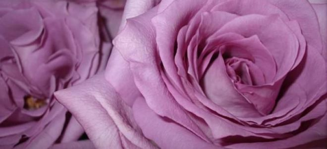 Букет из 9 ти роз значение — img 4