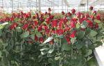 Выращивание роз в теплице — свои особенности