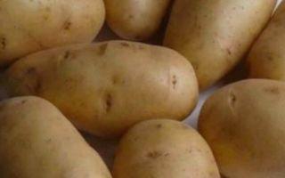 Всё о картофеле удача — описание сорта, посадка, уход и другие нюансы + фото