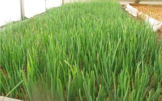 Выращивание лука на зелень (перо), какие лучше выбрать сорта и семена лука