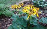 Бузульник : выращиваем в домашних условиях, полив, пересадка и особенности почвы