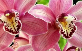 Как пересадить орхидею в другой горшок
