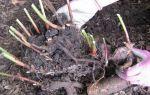 Подготовка лилий к зиме — выкопка, обрезка и укрытие