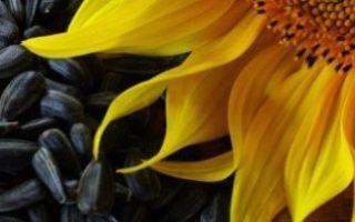 Какие выбрать семена подсолнечника — сингента, пионер, ясон и др.