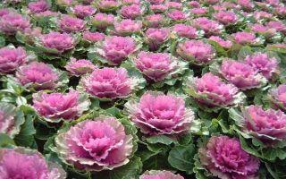 Декоративная капуста : выращиваем в домашних условиях, полив, пересадка и особенности почвы